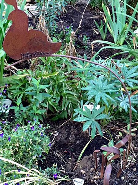Garden Quail